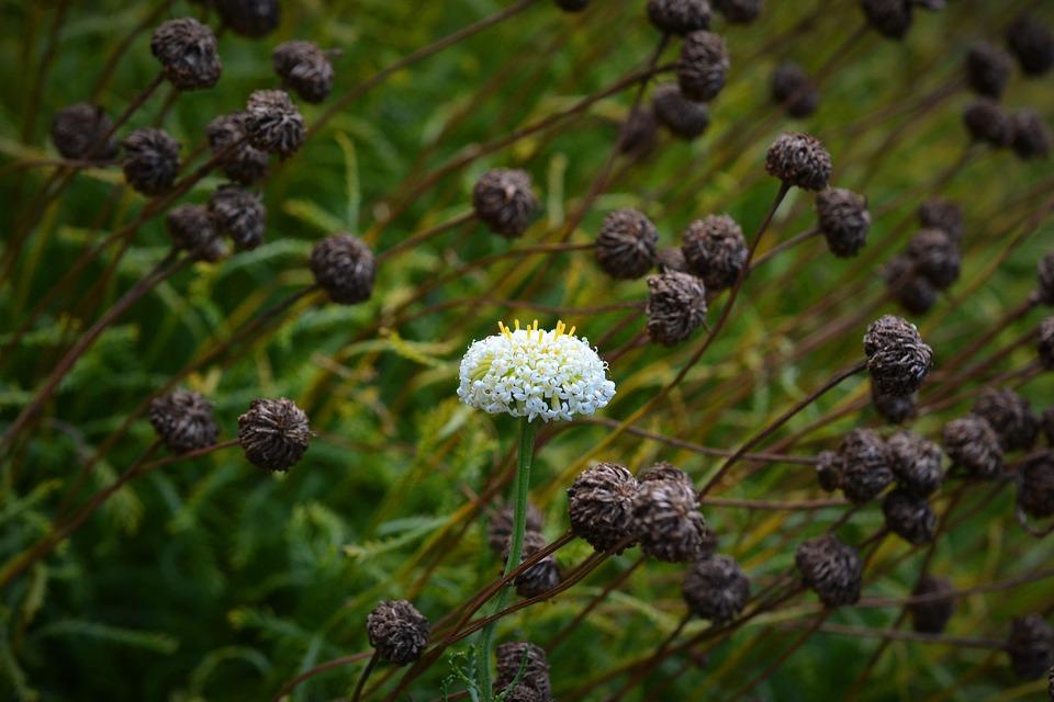 un fiore bianco in mezzo ad altri scuri